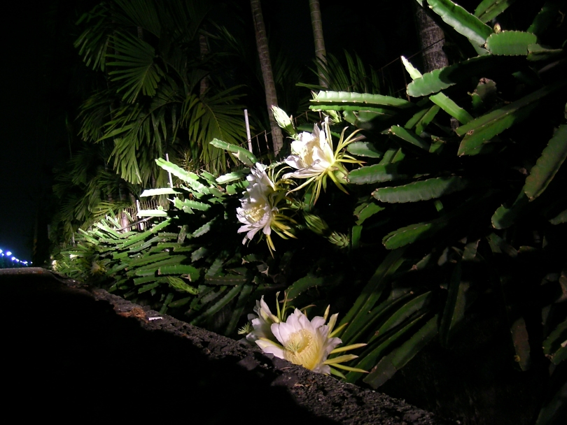 Hylocereus undatus - Flowers that bloom only at night ...