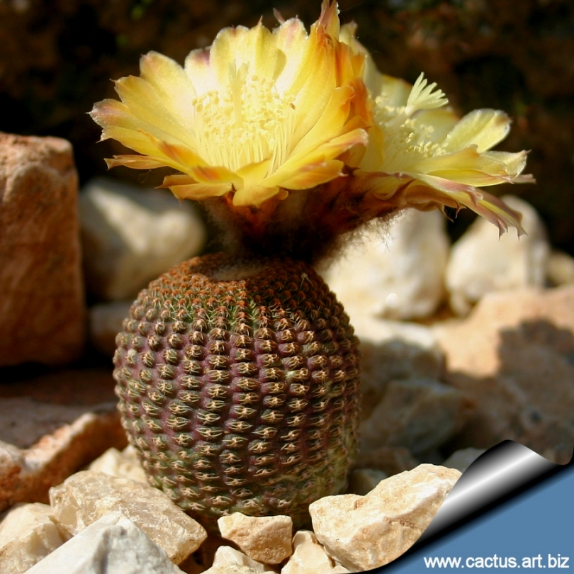 lobivia famatimensis reicheocactus pseudoreicheanus