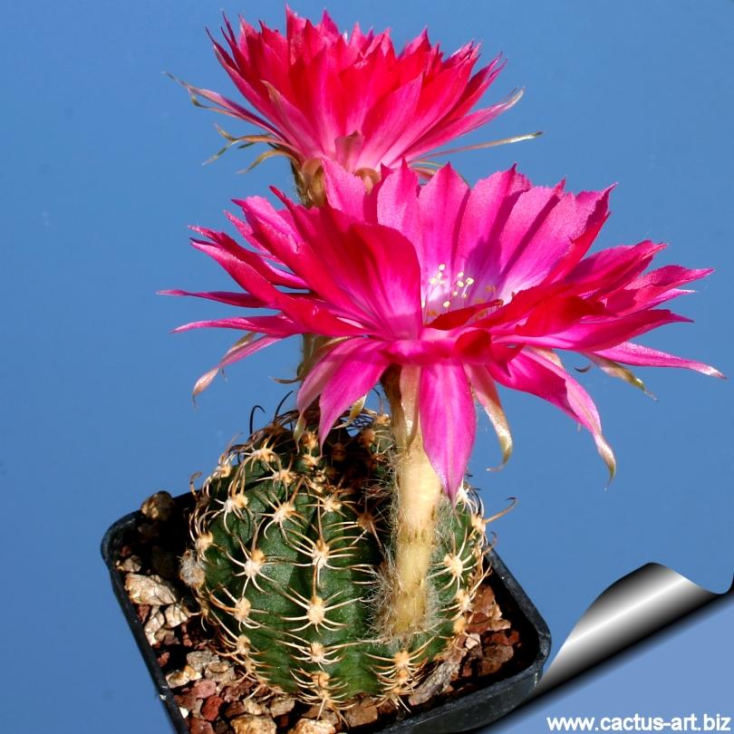 Lobivia winteriana - CactiGuide.com