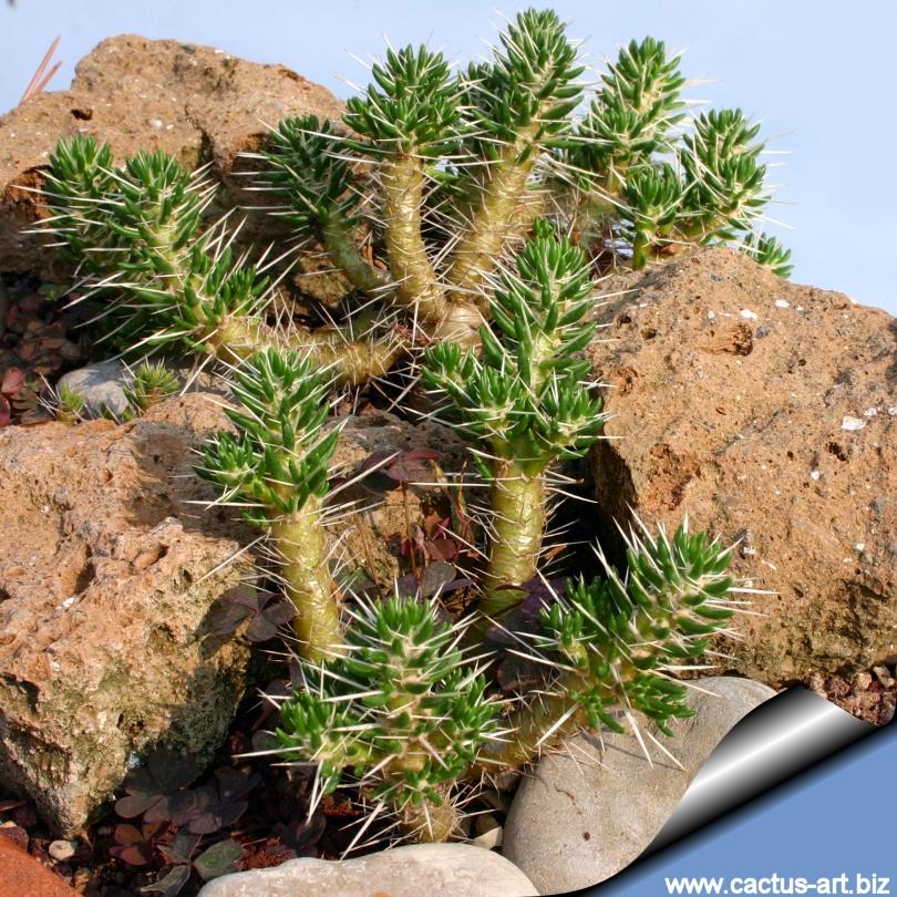 Maihuenis poeppigii for Cactus argentina