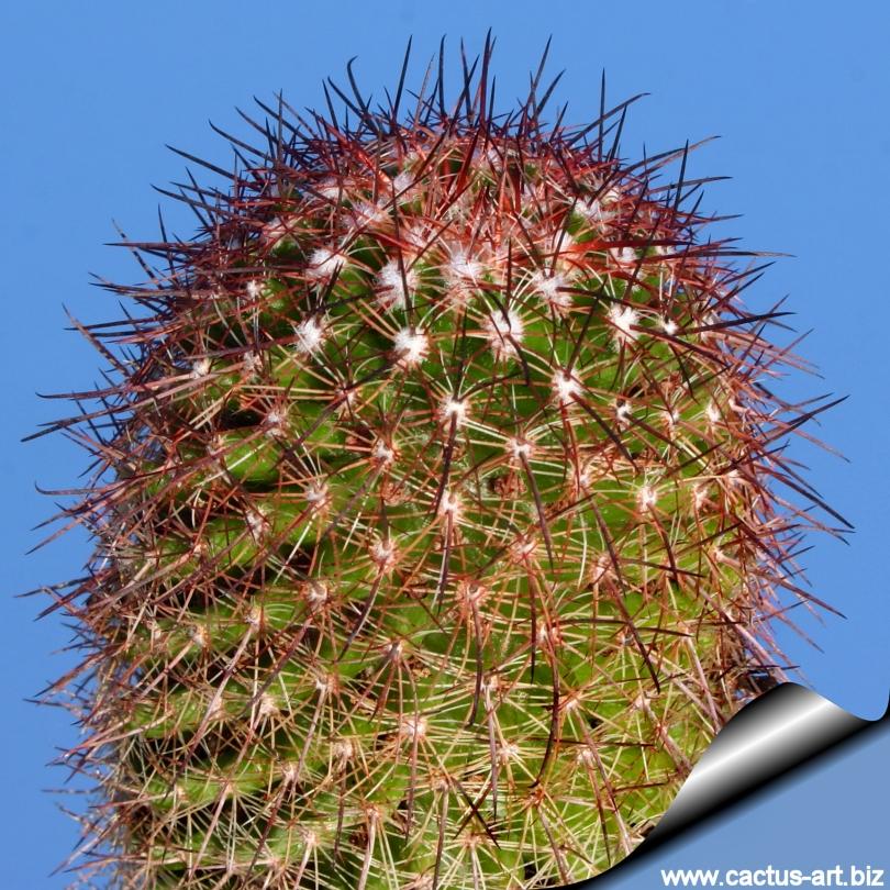 Mammillaria bambusiphila var. parva