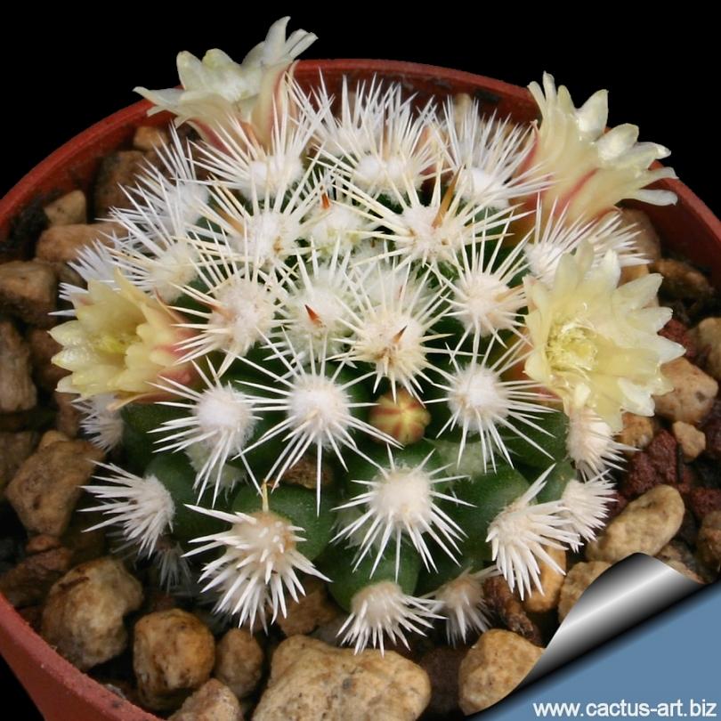 mammillaria vetula ssp gracilis cv arizona snow cap   snowcap