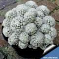 "Mammillaria gracilis forma mostruosa ""Arizona snow cap"""