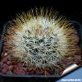 Mammillaria marcosii Yellow spined form