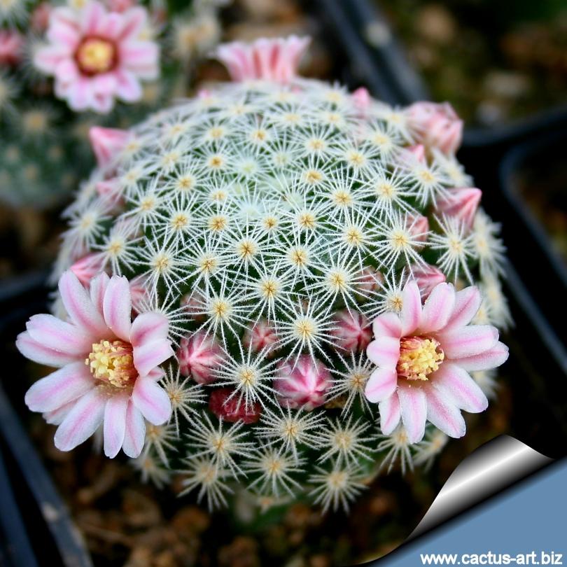 Toutes les plantes avec leur tolerence de température minimal pour l'hiver. Mammillaria_schiedeana_ssp_giselae_810