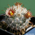 Mammillaria stella-de-tacubaya a young plant the first flowers