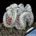 Mammillaria theresae forma cristata