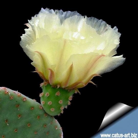 opuntia microdaysis  u0026quot caress u0026quot