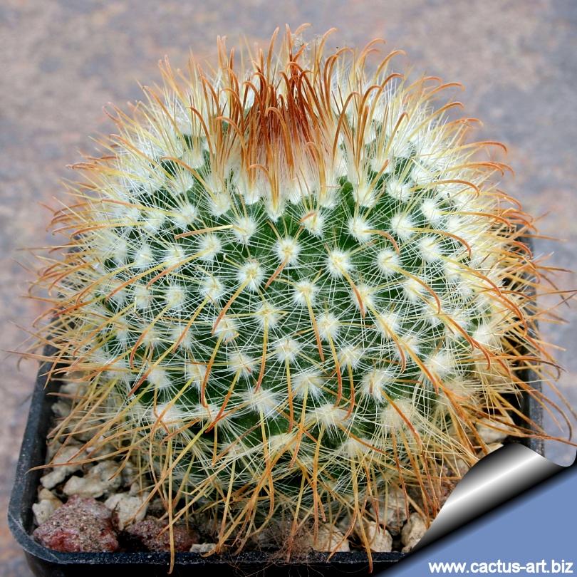 Parodia aureispina for Cactus argentina