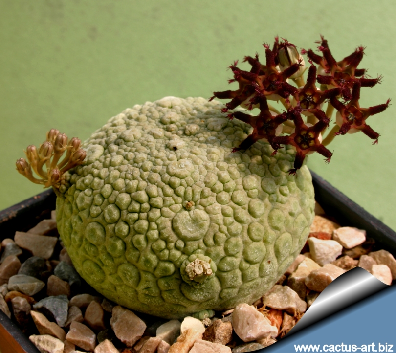 Anybody have this weird alien blob succulent - Cool looking house plants ...