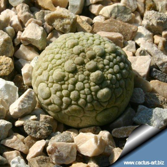 http://www.cactus-art.biz/schede/PSEUDOLITHOS/Pseudolithos_migiurtinus/Pseudolithos_migiurtinus/pseudolithos_migiurtinus_young_540.jpg