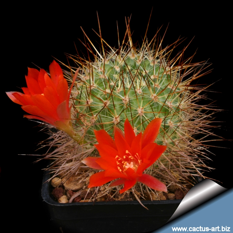 family cactaceae cactus family rebutia aureispina nom nud a