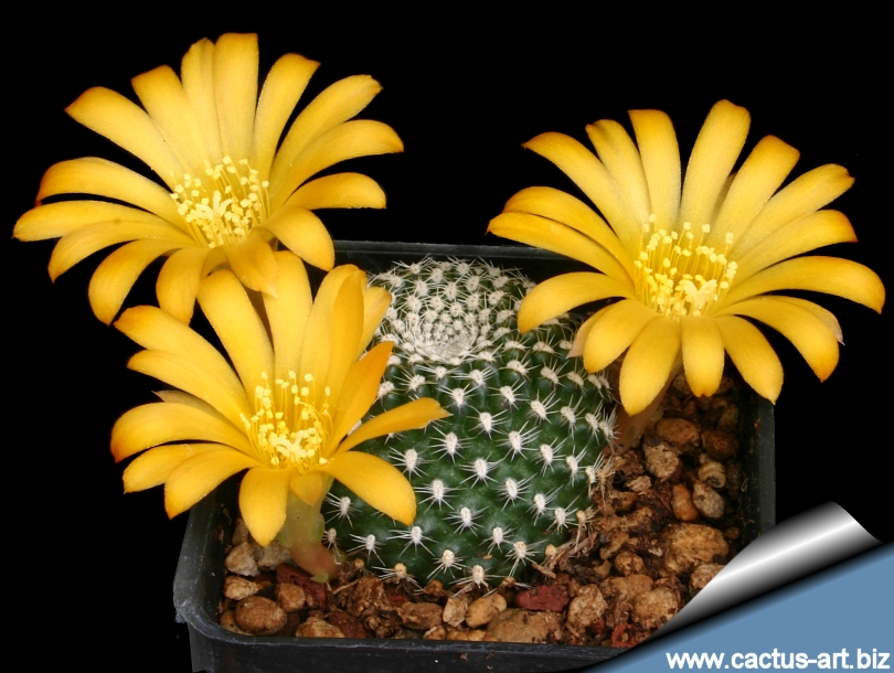Rebutiakrainzianayellow810g a rare yellow flowering specimen and right the white flowering var albiflora the normal and more frequently seen form has bright orange red flowers mightylinksfo Images