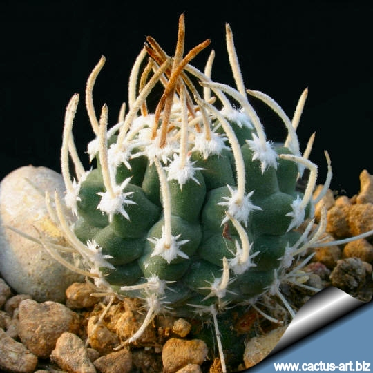 sclerocactus spinosior ssp  blainei  u0026quot schleseri u0026quot  sb1540 nye county  nevada  usa