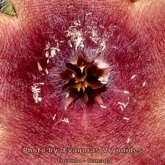 Fly eggs in skin