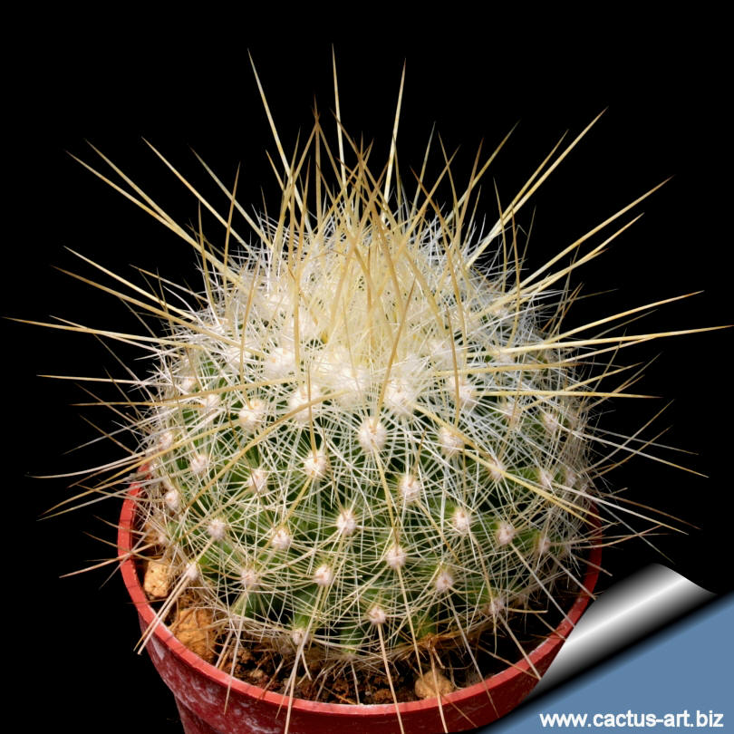 Thelocactus macdowellii 10 seeds THELOCACTUS