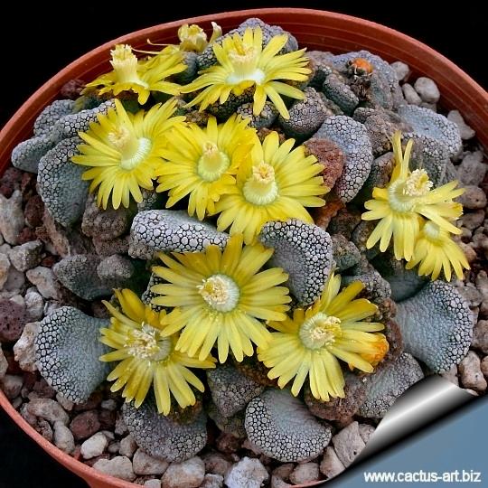 Encore cette année... semis de succulentes! Titanopsis_calcarea_campbel_540