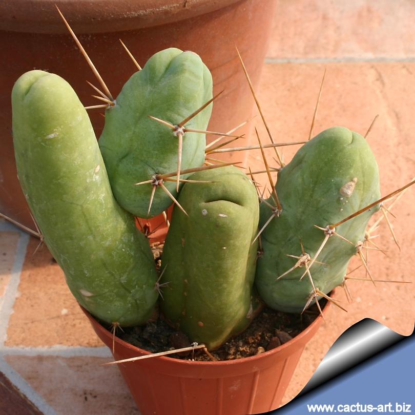 """Trichocereus bridgesii forma mostruosa inermis """"The penis plant"""""""