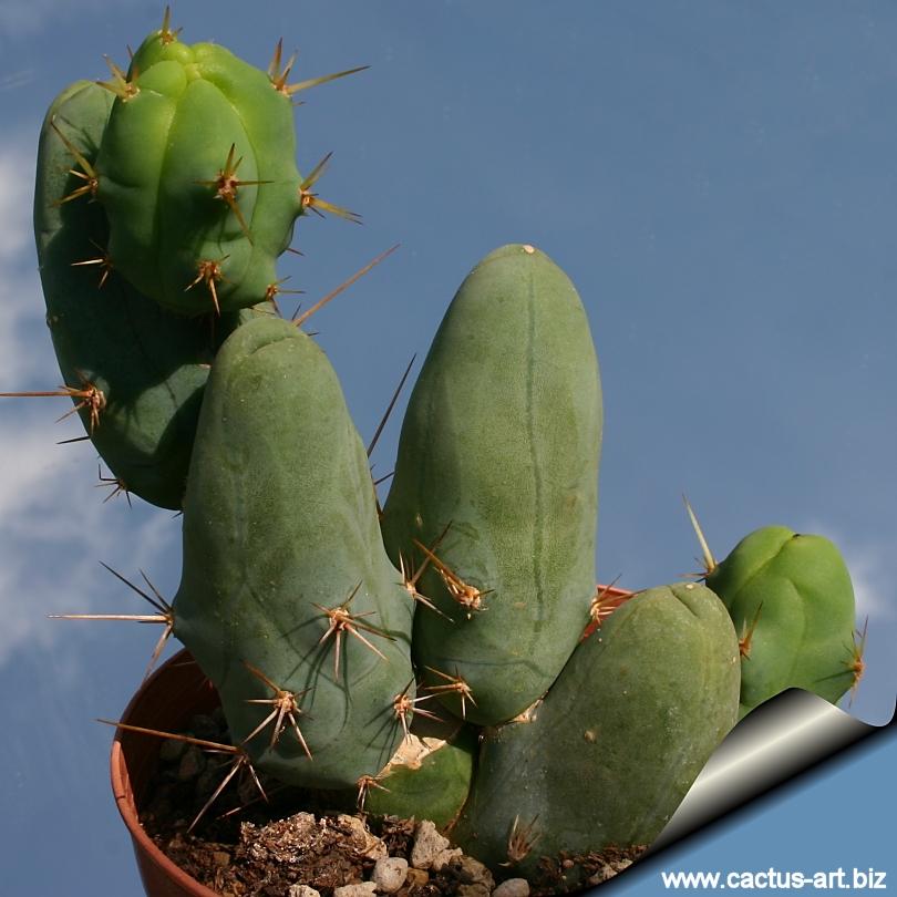 Penis Cactus 120