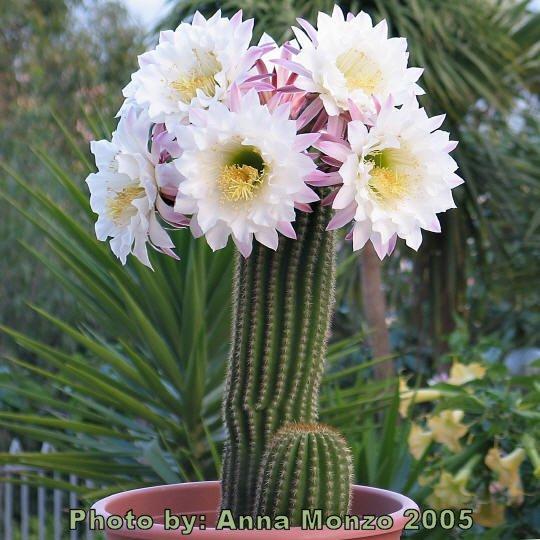 「Echinopsis spachiana」の画像検索結果