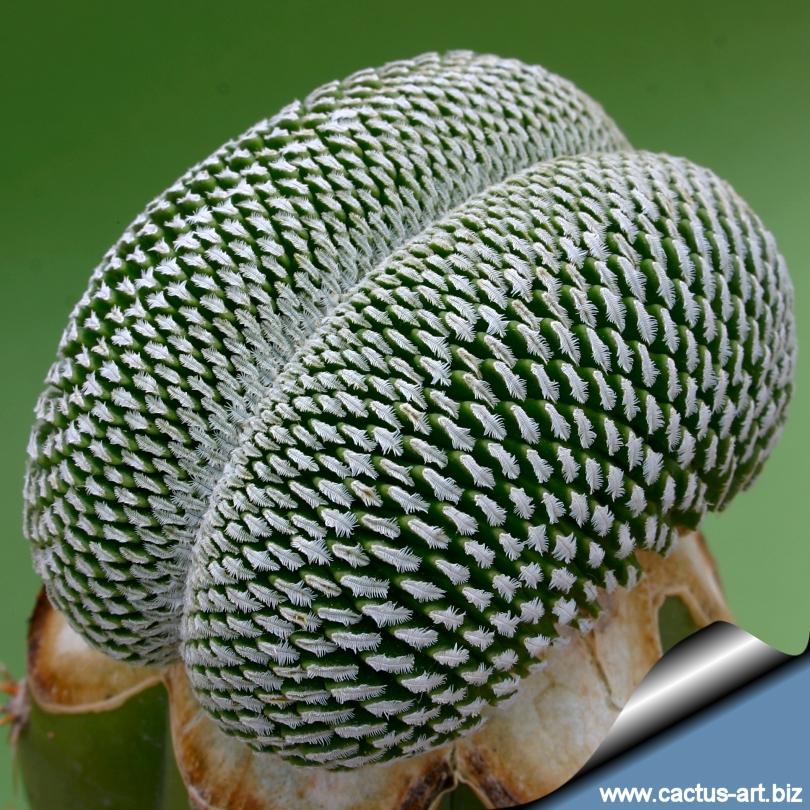 Turbinicarpus Pseudopectinatus Forma Cristata Pelecyphora