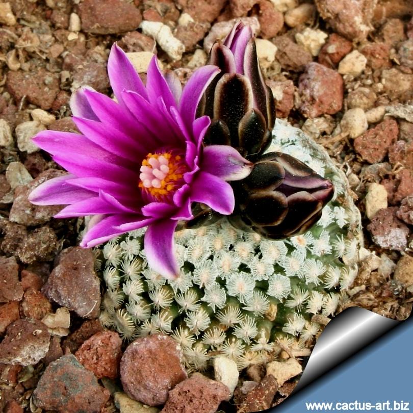 Semis de Turbinicarpus (cactus) Turbinicarpus_vadezianus_form_saltillo_810