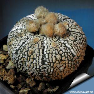 Astrophytum asterias cv. SUPERKABUTO classical form (mixed patterns)