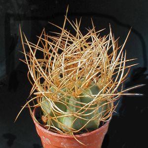 Astrophytum aureum, Sierra Paila (Syn: A. capricorne var. senilis 'aureum')
