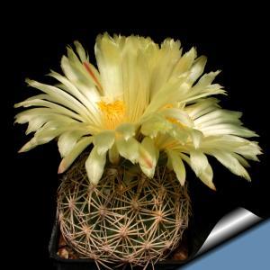 Coryphantha cornifera SB44 Ixmiquilpan, Hidalgo, Mexico
