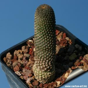 Rebutia gonjianii Syn.: Cylindrorebutia gonjianii