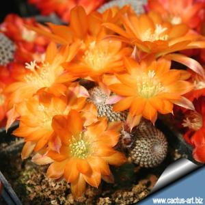 Rebutia heliosa KK844 Tarija, 3000 mt Bolivia, OWN ROOTS