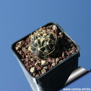 Thelocactus hexaedrophorus ssp kvetae, MZ 739, Cerritos, SLP