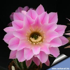 Echinopsis hybrid cv. SPRING SYNPHONY (Schick)