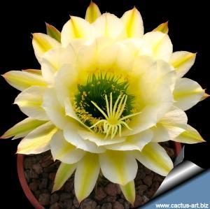 Trichopsis (Trichocereus x Echinopsis hybrid) cv.  JUNE NOON