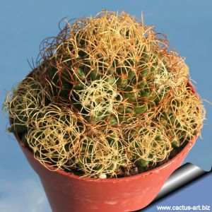 "Mammillaria camptotricha cv. Marnier-Lapostolle ""Curlispina"""