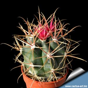 "Ferocactus chrysacanthus ""rubrispinus"" hybrid"