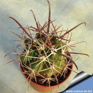 Ferocactus santamariae
