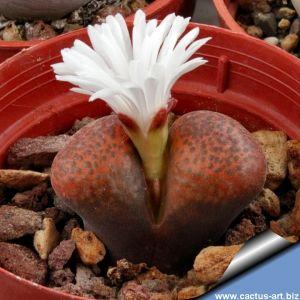 Ophthalmophyllum verrucosum (Conophytum) CM142 sp. nova SIDI BARANI