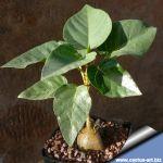 Ficus palmeri (Rok Fig)