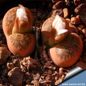 Lithops lesliei v. minor C006A cv. Witblom, 25km SW of Swartruggens, Transvaal (SA)
