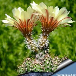 Echinocereus papillosus v. angusticeps SB1787 nw Hidalgo Co.