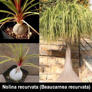 Nolina recurvata (Beaucarnea recurvata)