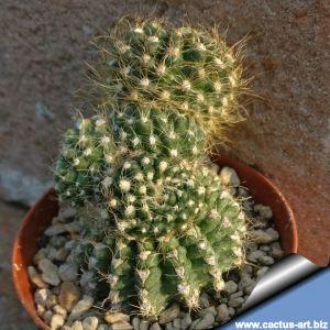 Eriosyce villosa f. mostruosa
