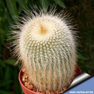 """Notocactus leninghausii """"albispinus"""""""