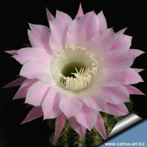 Echinopsis hybrid cv. PRINCESS ANNE (Schick)