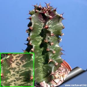 Euphorbia cv. STREAKY