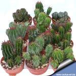 Euphorbia horrida hybrid (mixed forms)