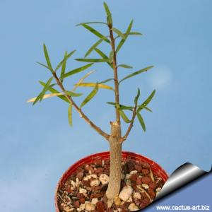 Euphorbia balsamifera