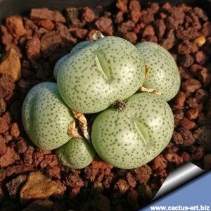 Conophytum subglobosum Uniondale, South Africa