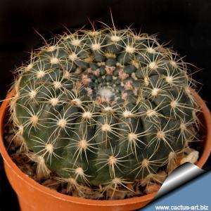 Notocactus concinnus v. gerbalitoenis